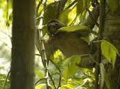 Animali Costa Rica: Bradipo