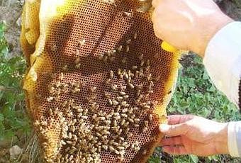Belluno aggredito da uno sciame d 39 api muore per shock anafilattico paperblog - Nido api finestra ...