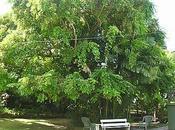 leggenda degli scambiarono alberi