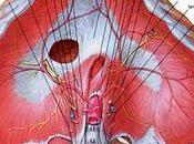 Anatomia diaframma