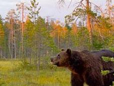 orsi della taiga finlandese: progetto fotografico