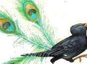 cornacchia piume pavone