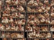 L'Europa vieta commercio delle uova allevamento gabbia
