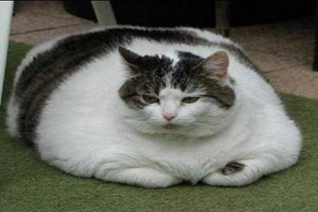 gatto obeso 6 Cani e Gatti obesi in U.S.A. FOTO