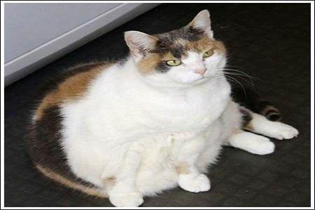 gatto obeso 5 Cani e Gatti obesi in U.S.A. FOTO