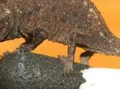 micro-camaleonti Madagascar