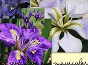 Iris Reticulata Unguicularis, Seconda Parte