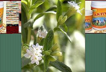 La stevia pianta delicata da coltivare paperblog for Stevia pianta