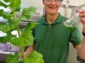 piante tabacco potranno produrre carburante?