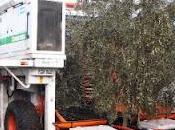 Puglia, adotta ulivo: richieste vanno inoltrate Comparto regionale dell'Anas