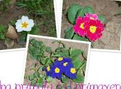 primula primavera
